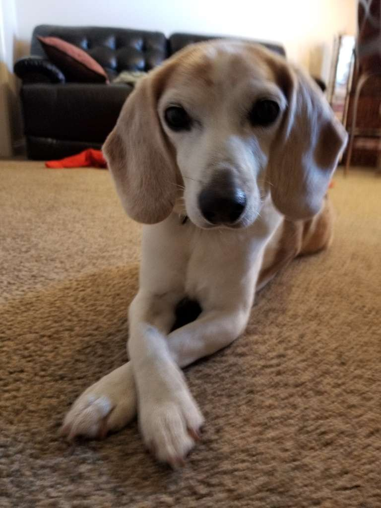 beagle dog legs crossed