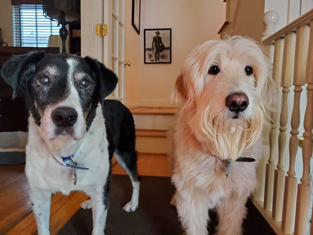 dogs two stairs black white blonde