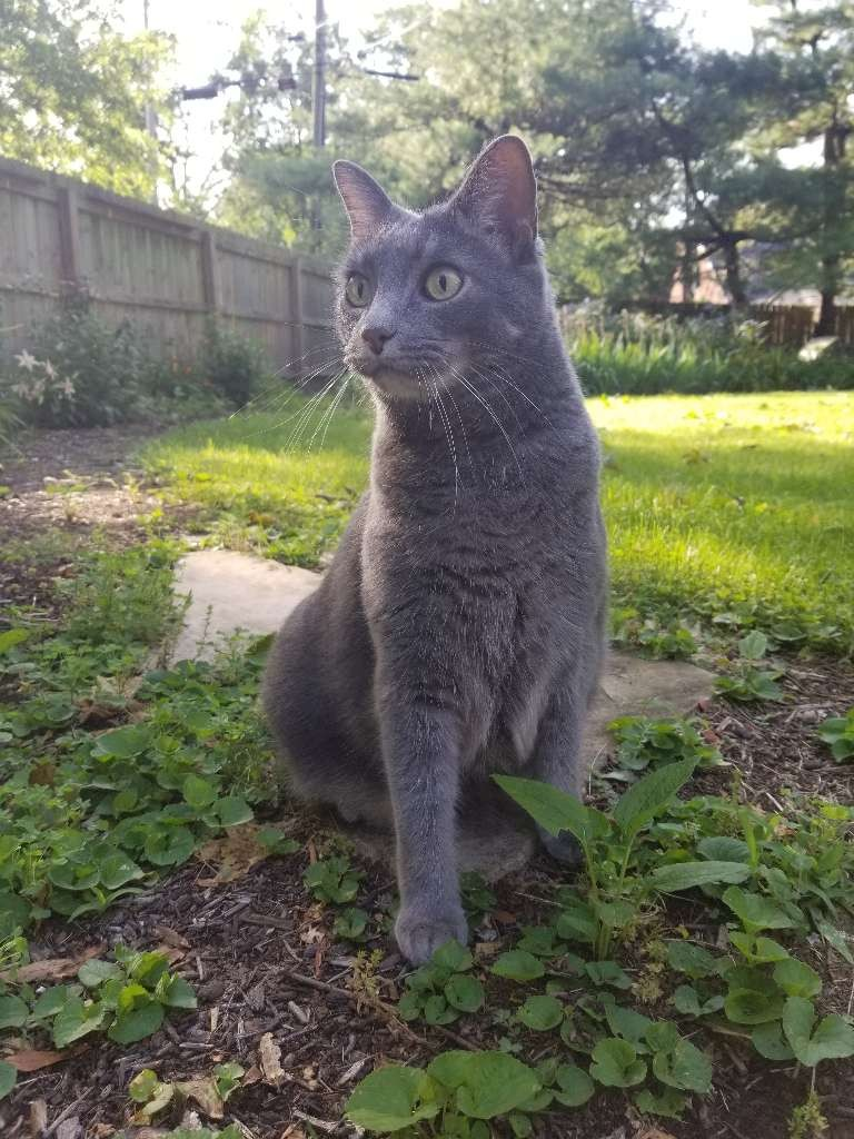 cat grey outside grass fence