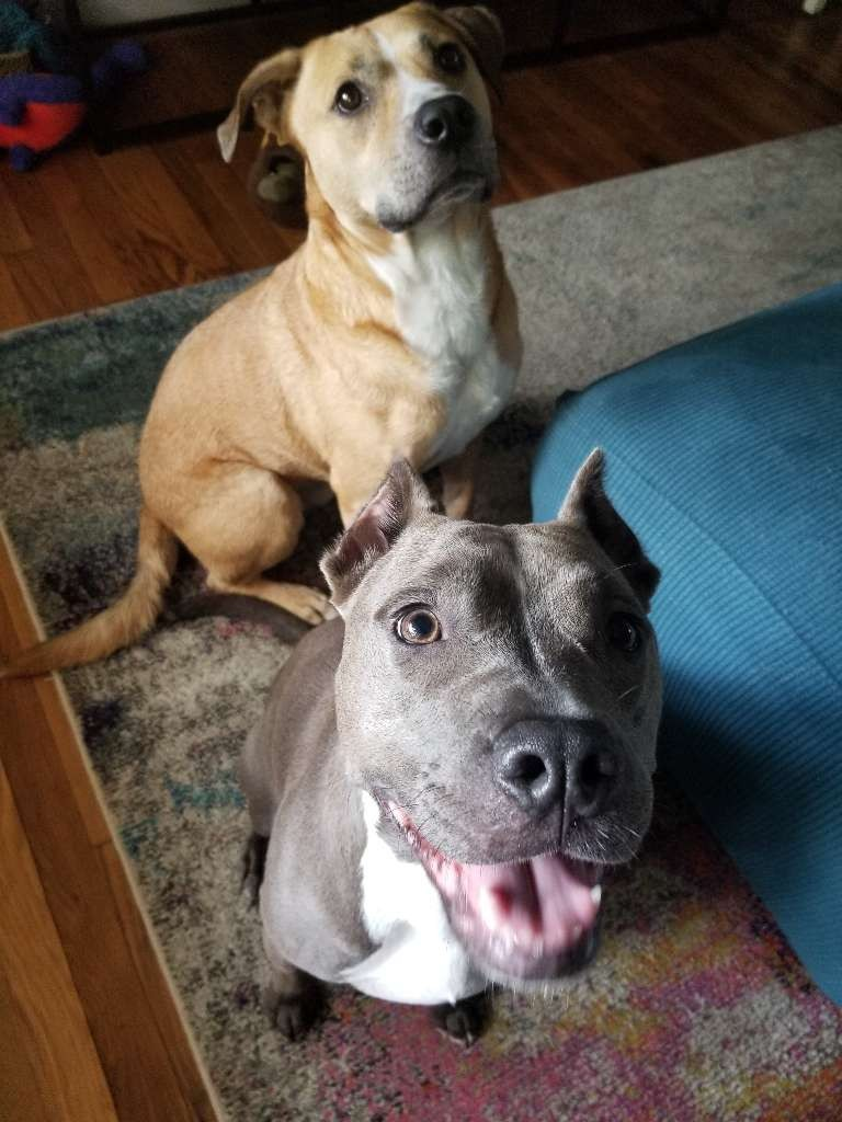 dogs stafford grey brown white