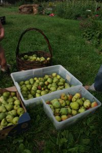 first pick from the pear trees