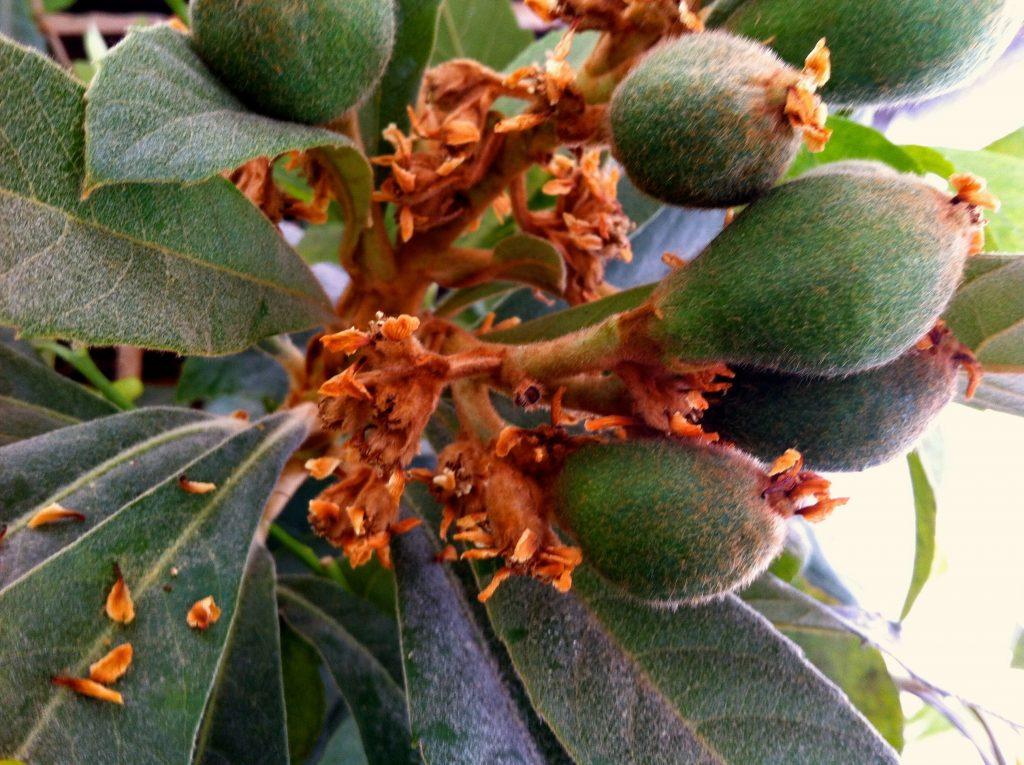 the beginnings of loquat fruit
