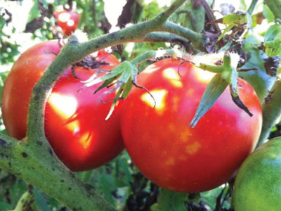 The Sacred Gardener Tomatoes