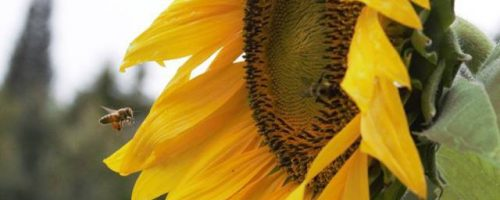 Chickadee Teachings and Sunflower Medicine