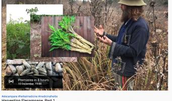 Harvesting Elecampane, Part 1
