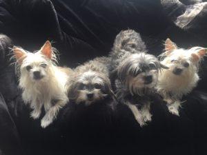 4 dog clones.