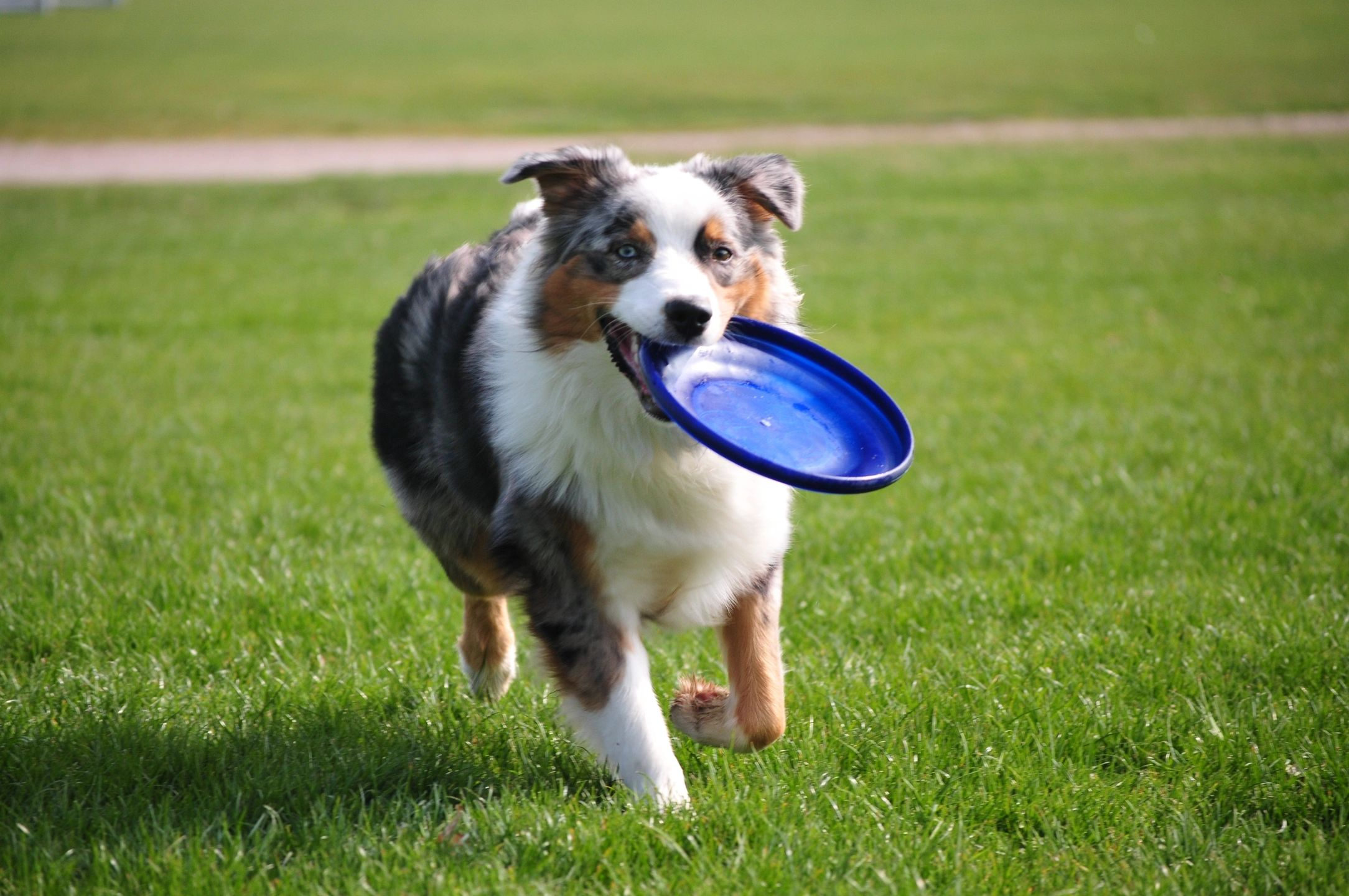 Sheltie carrying a frisbee
