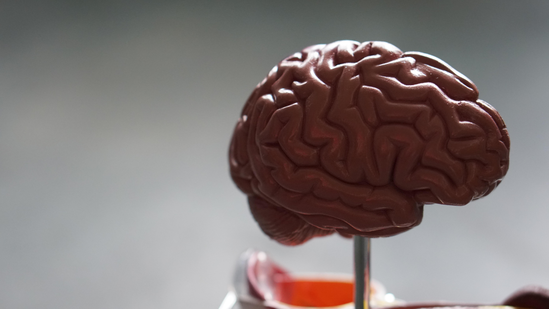 Model of the brain