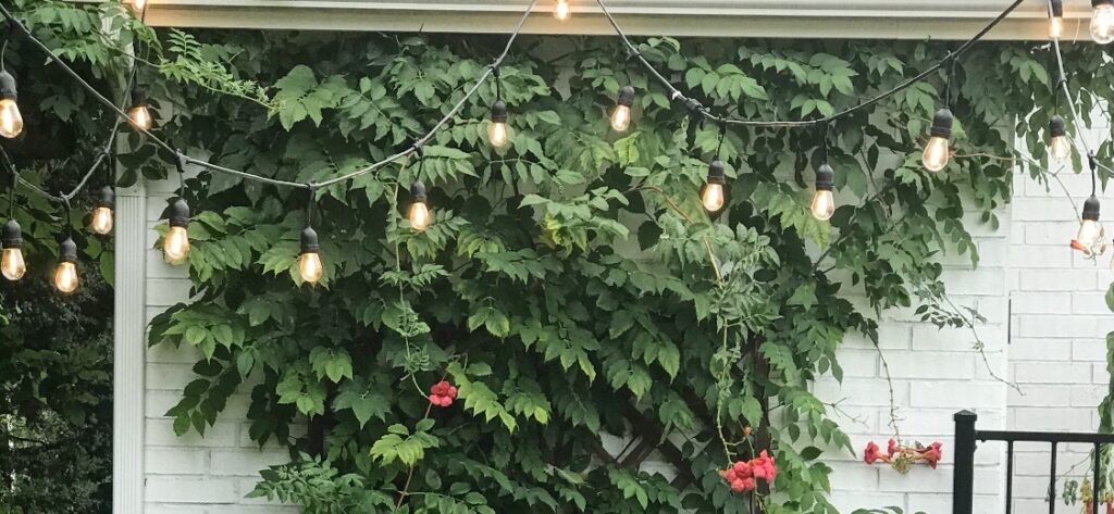 outdoor string lights hung in front of a beautiful trumpet vine