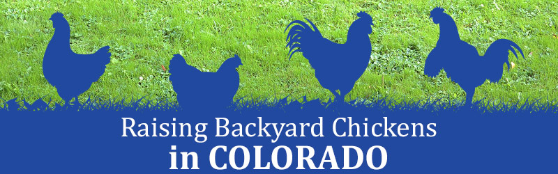 Raising Backyard Chickens in Colorado