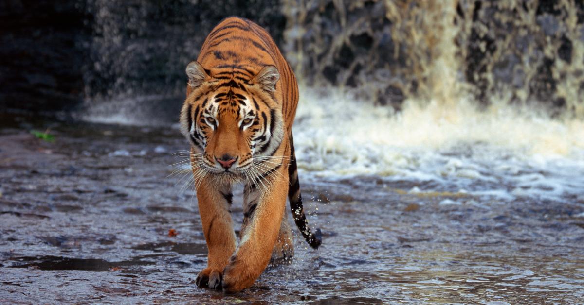 Tiger living in natural habitat