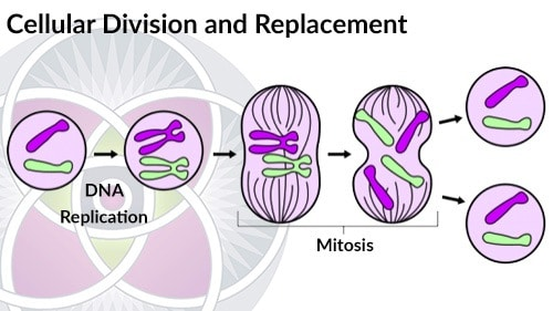 The process of cellular division and replacement. Different cells divide at different rates.