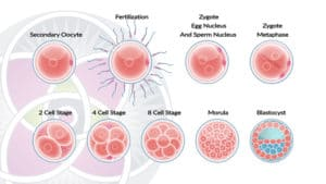 Every cell in the embryo is a stem cell