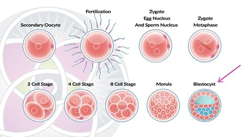 The 1st week of human embryo development. All of the cells are stem cells.