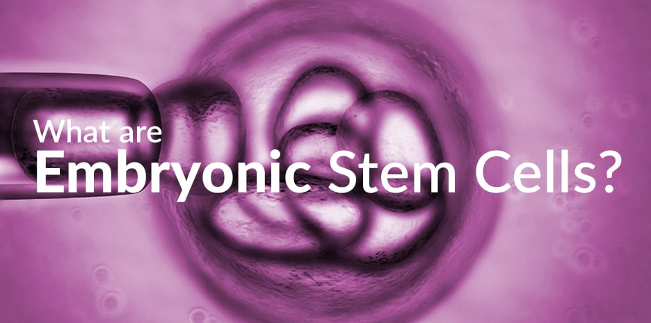 Embryonic Stem Cells : Essentially all of the Cells of the Developing Embryo are Stem Cell