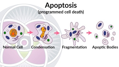 Cells are designed to work at peak efficiency until they cannot and then they are designed to die, called apoptosis.