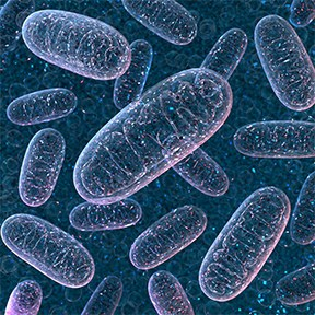"""Mitochondria are small """"organelles"""" that exist inside each of our cells."""
