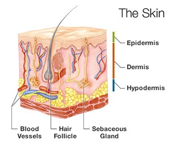 The skin is comprised of two primary layers, the thin epidermis on top and the thicker dermis underneath.