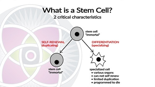 "When stem cells divide they can produce more stem cells as well as have the potential to become ""differentiated"" and become specialized cells."