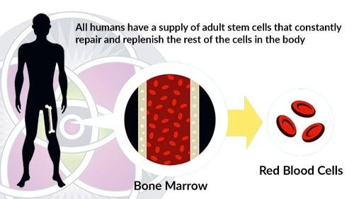 Adult stem cells can be harvested from the patient's femur bone