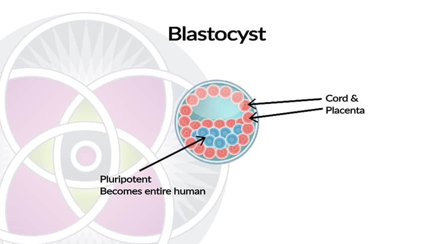 What are stem cells? The blastocyst stage.
