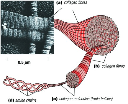 Collagen is made up of small amino acid molecules