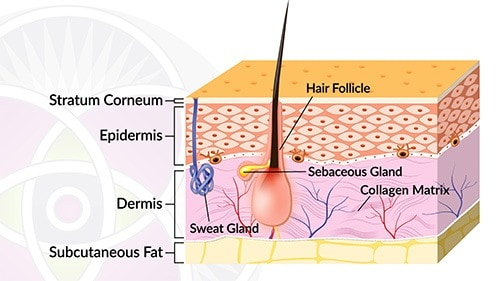 Diagram of the skin showing the three layers we are discussing
