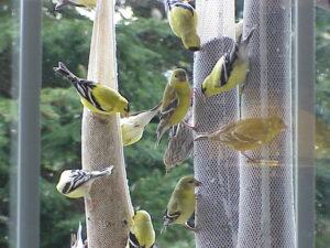 Yellow finch love the Reiki Ranch kitchen window