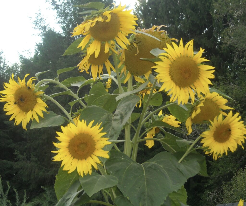Reiki Ranch Sunflowers
