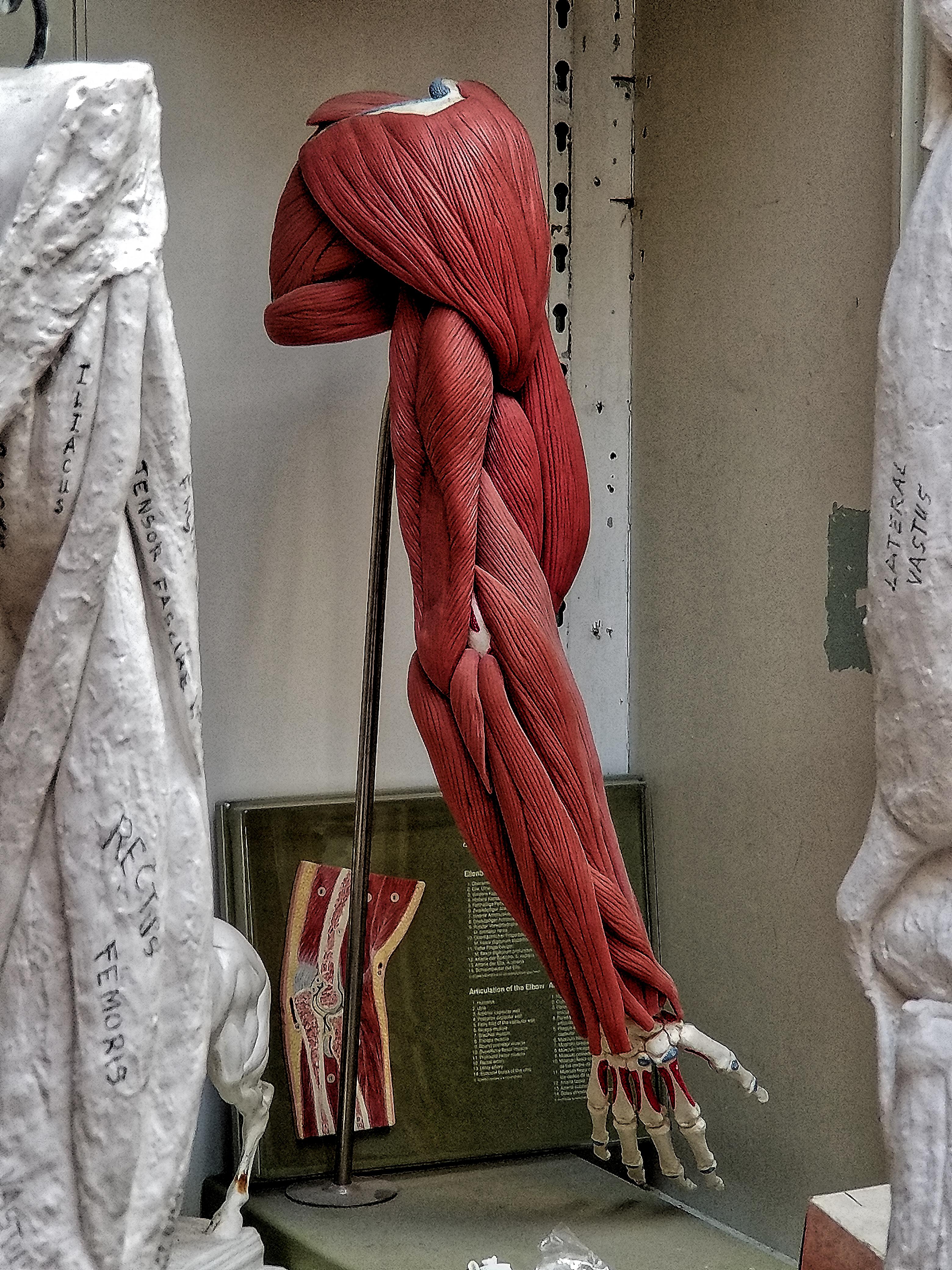 Anatomical Arm Flexible Detachable Muscles on Bones
