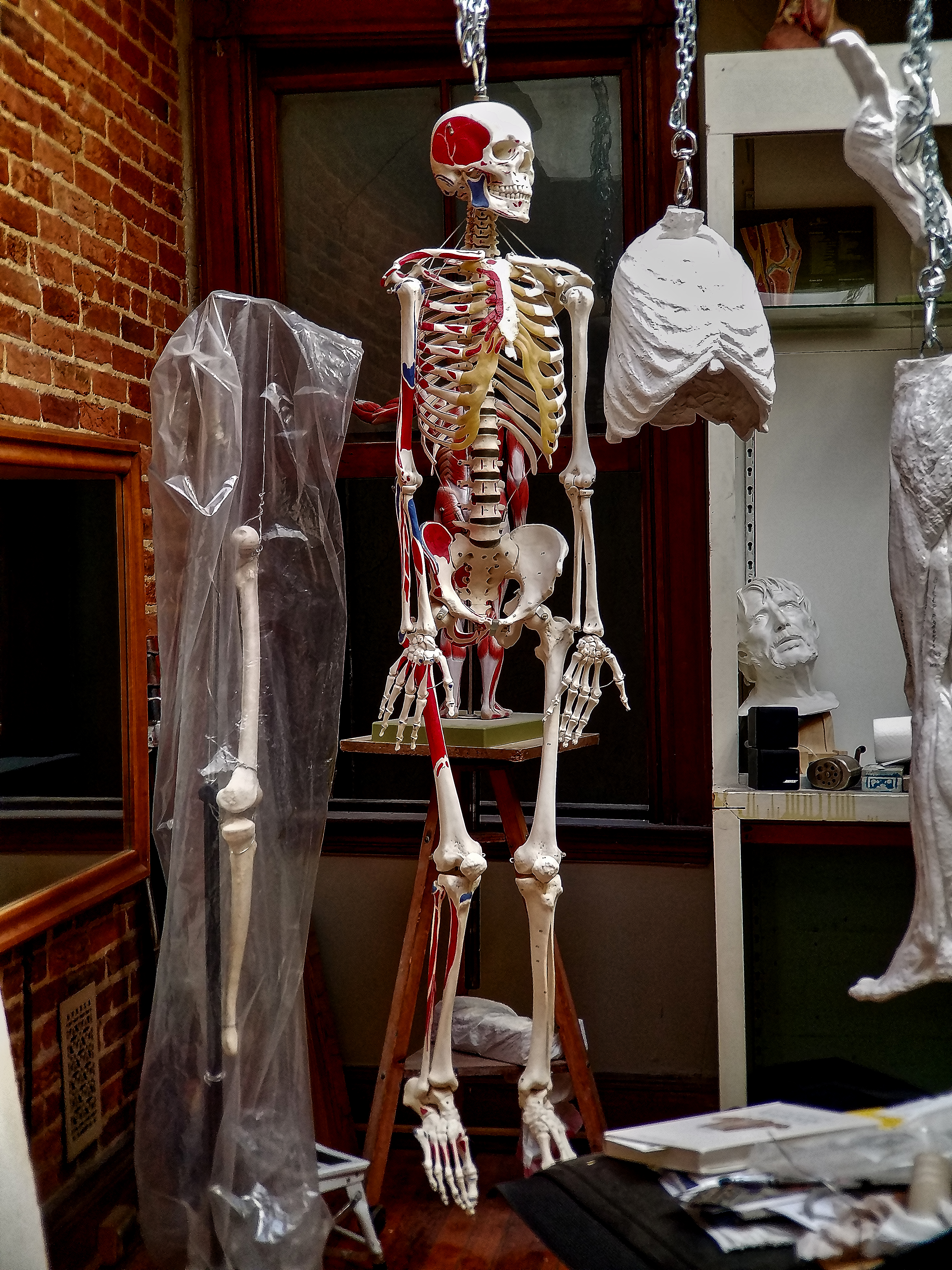 Male Skeleton with Anatomical insertions and origens