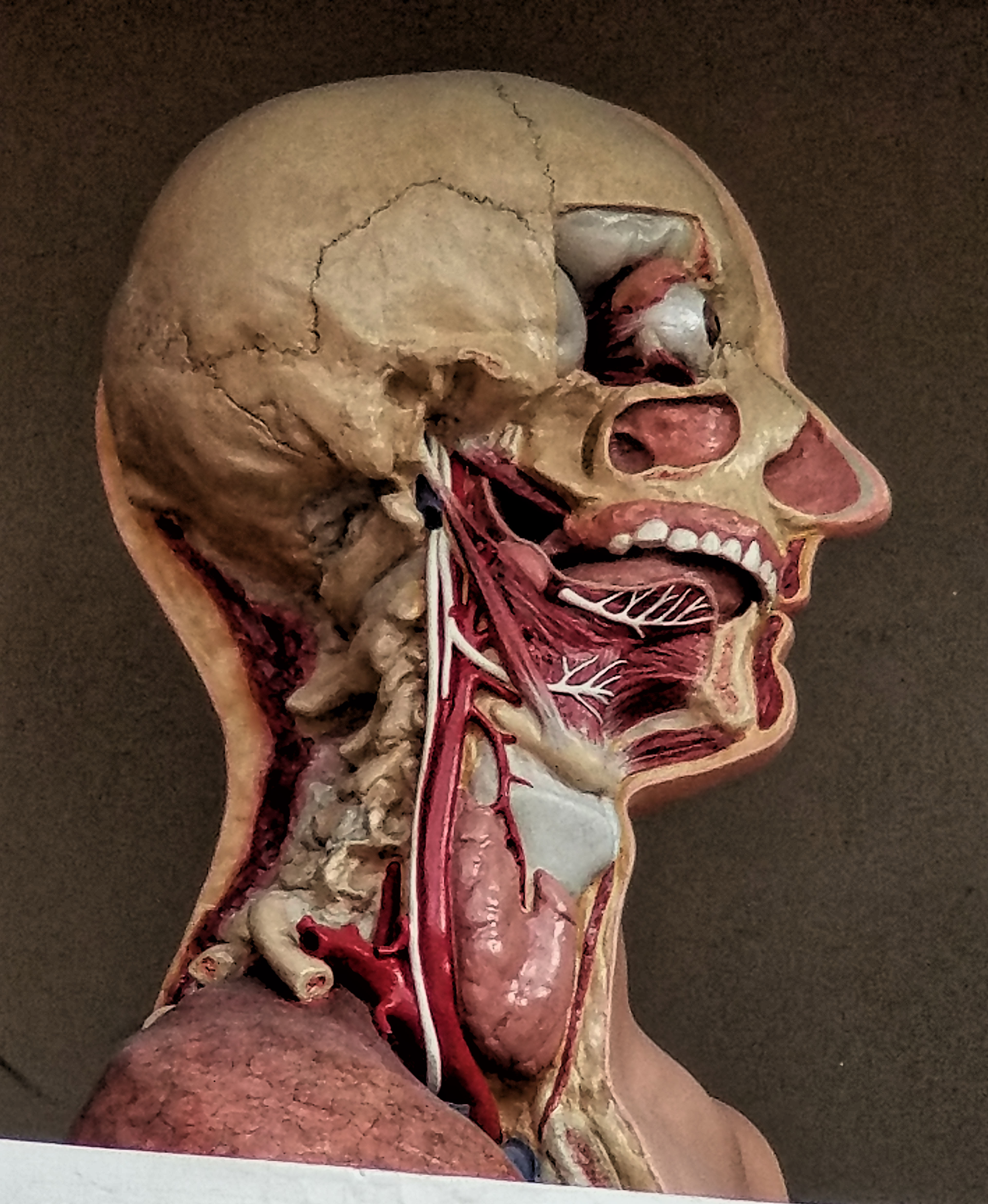 Anatomy Head Disection Level Four. Anatomical Head surface anatomy Dissection from life 1917-1920 Ge