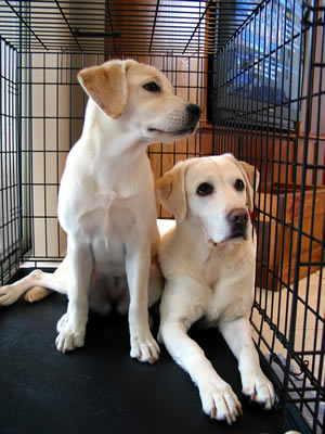 puppies-crate-trained