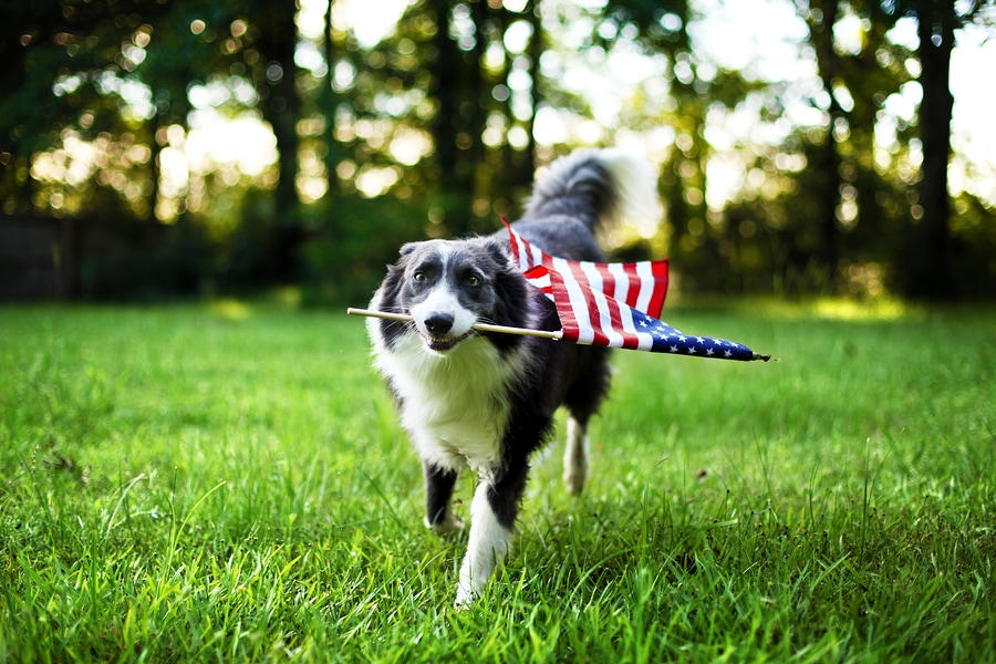 Happy 4th dog