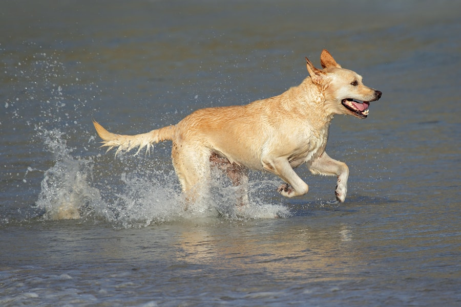 bigstock-Running-Golden-Retriever-14549096