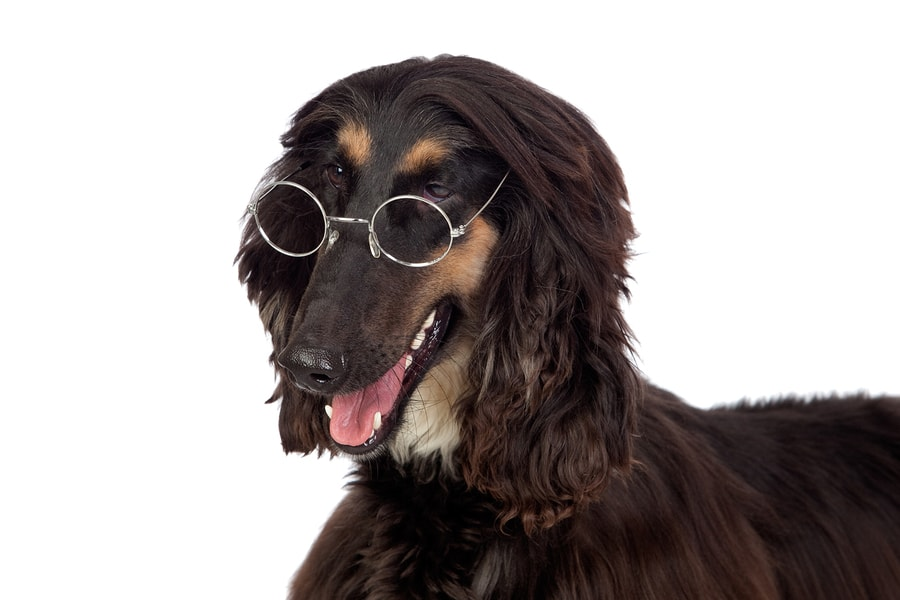 bigstock-Arabian-Hound-Dog-With-Glasses-10477382