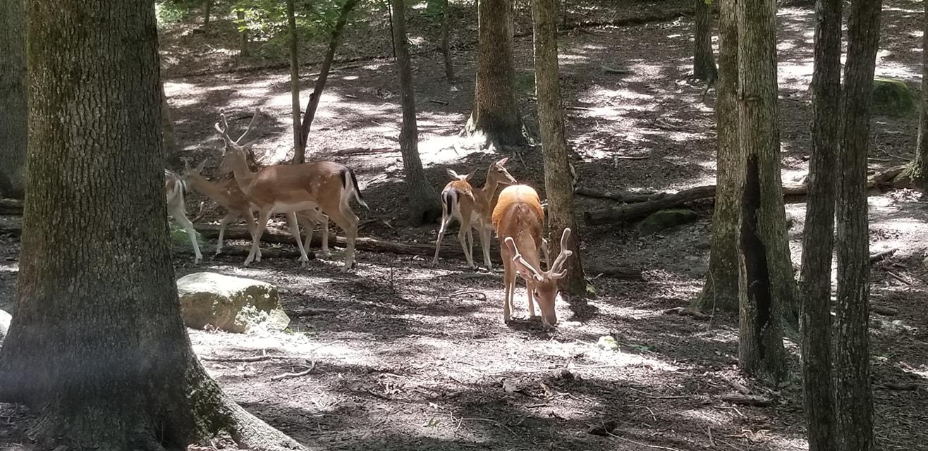 Yellow River Fallow Deer group