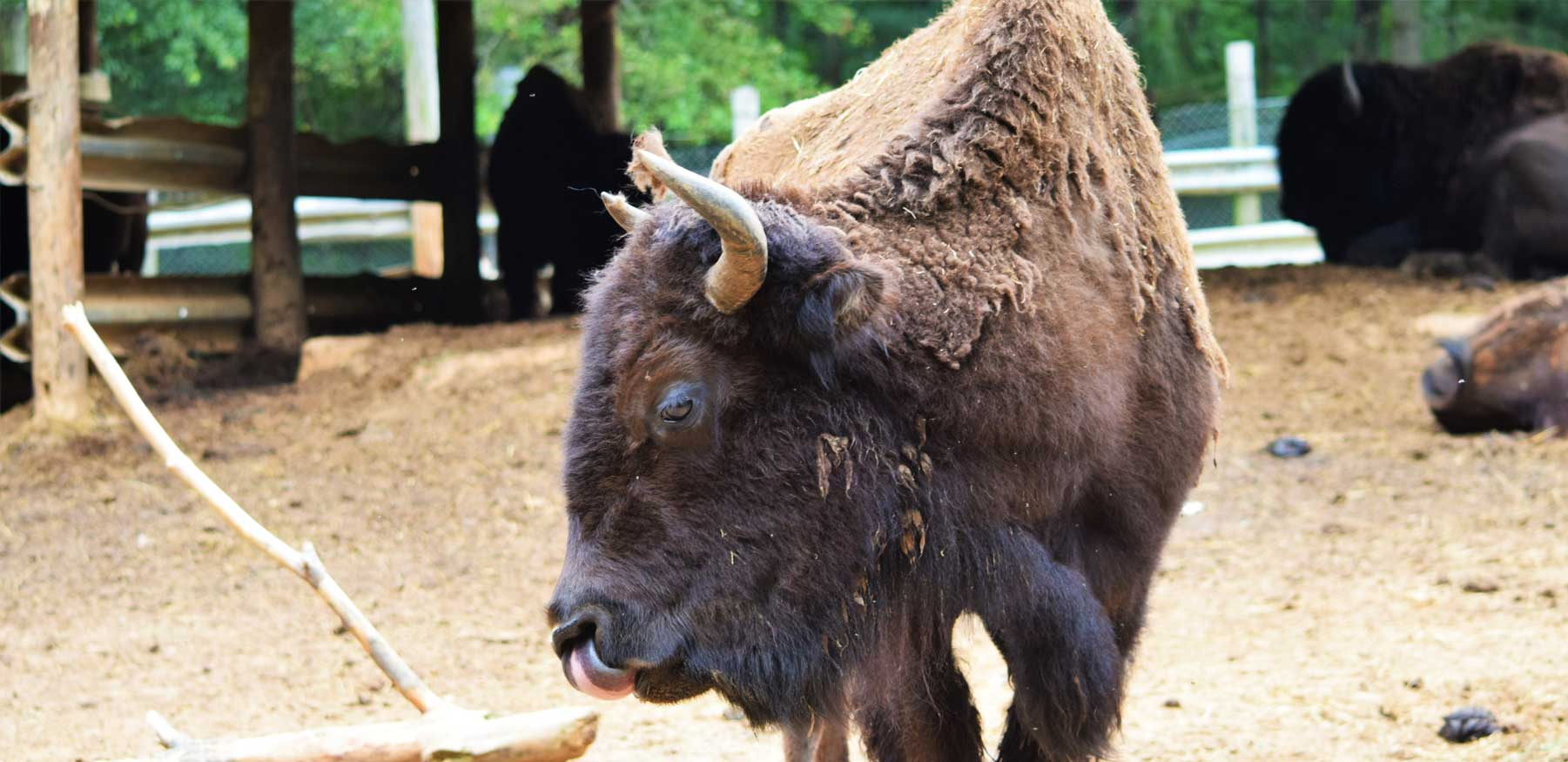 Yellow River Wildlife Sanctuary in Lilburn GA Bison