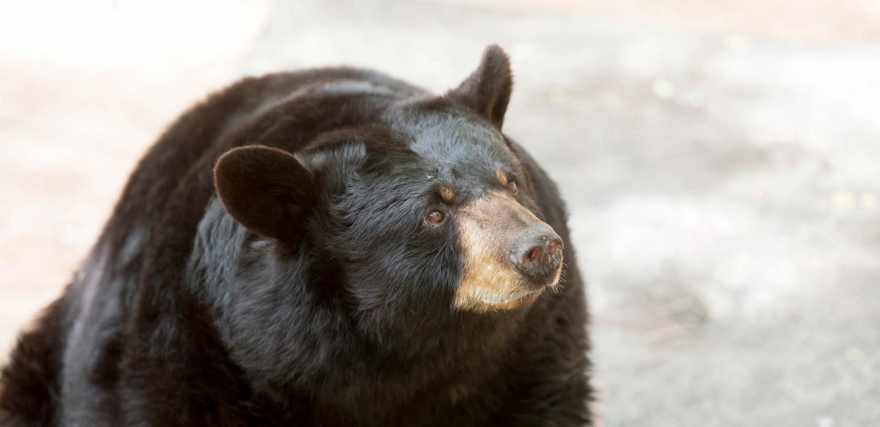 Yellow River Black Bears