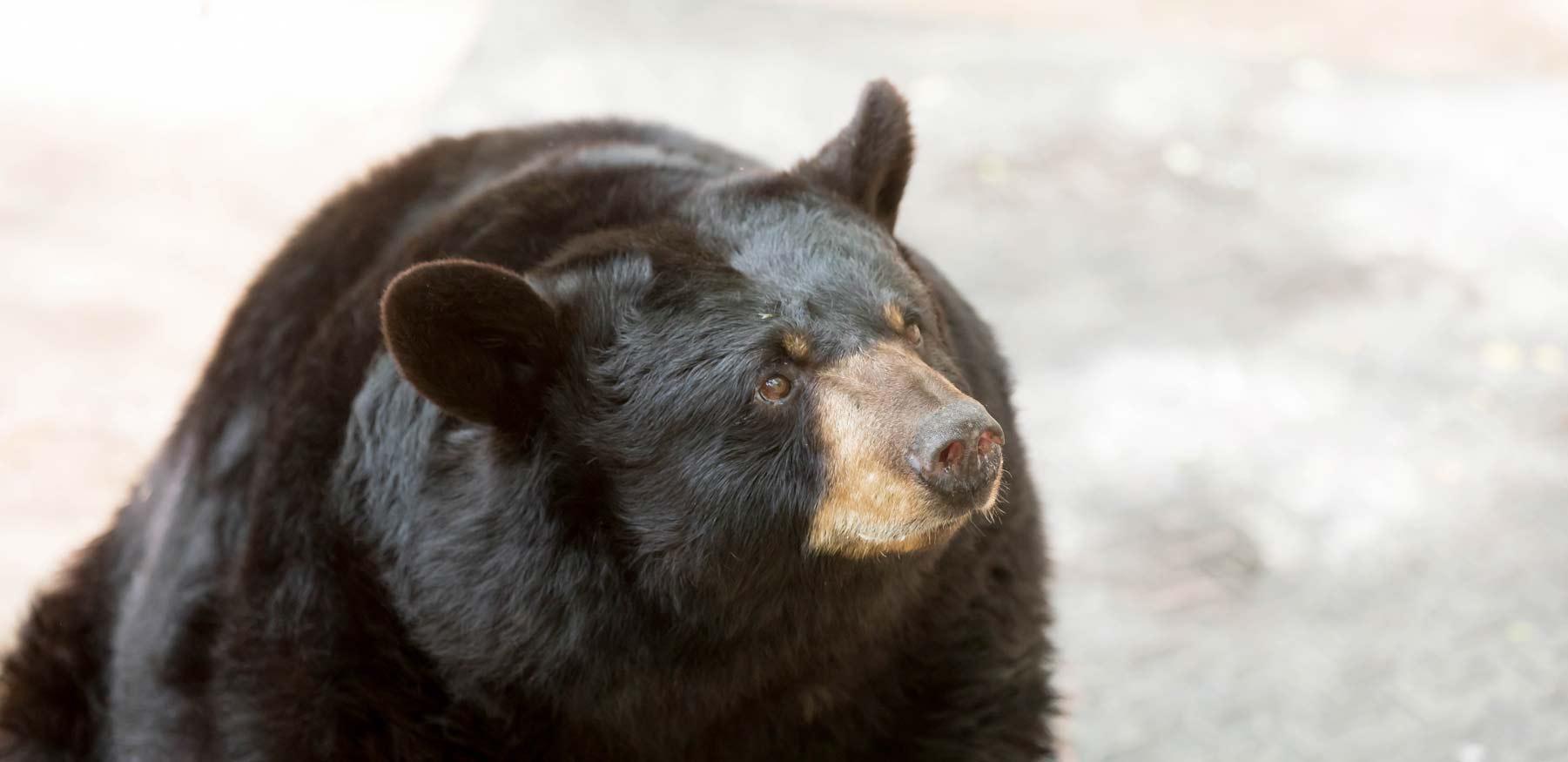 Yellow River Black Bears