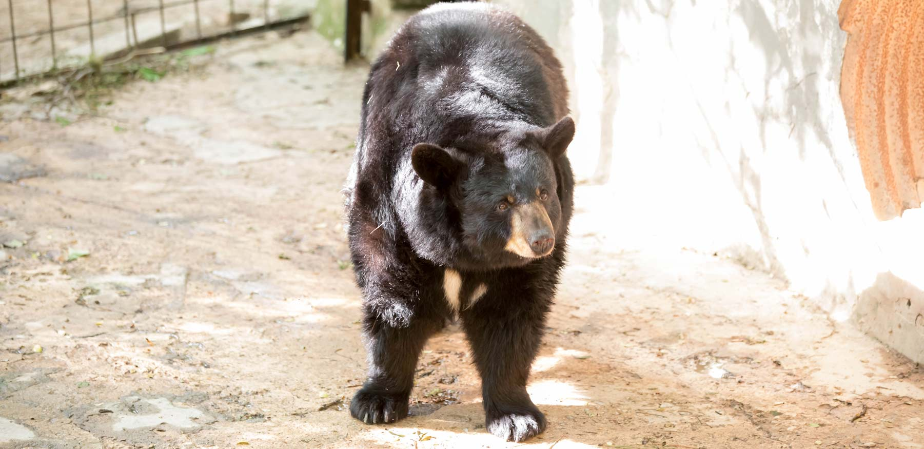 YRWS black bear in previous enclosure