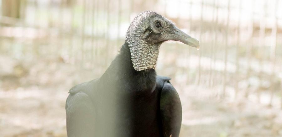 Black Vulture at Yellow Rier Wildlife Sanctuary profile