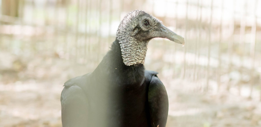 Black Vulture at Yellow Rier Wildlife Sanctuary profile