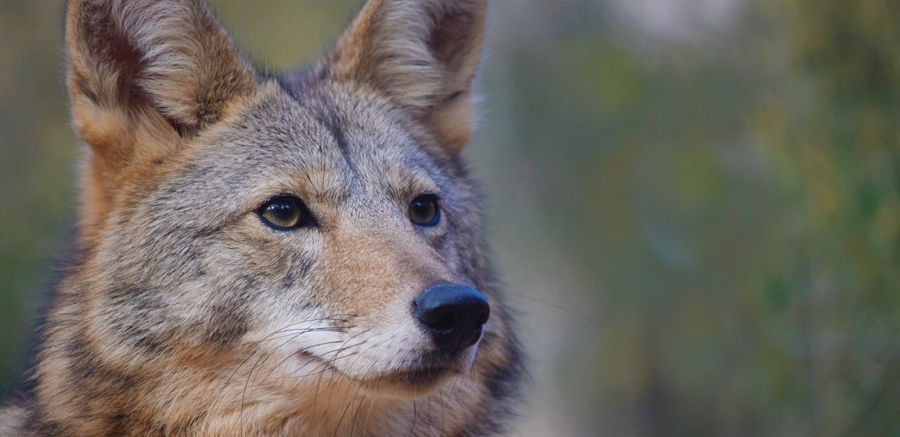 Coyote close-up face at Yellow River Wildlife Sanctuary