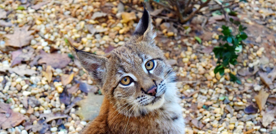 Kushka Eurasian Lynx at Yellow River Wildlife Sanctuary