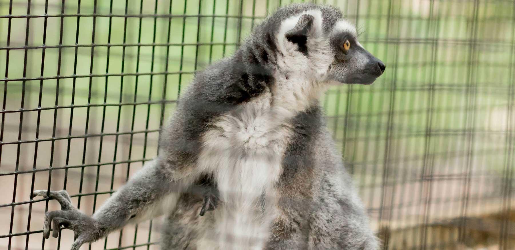 Ring-tailed lemur profile at YRWS