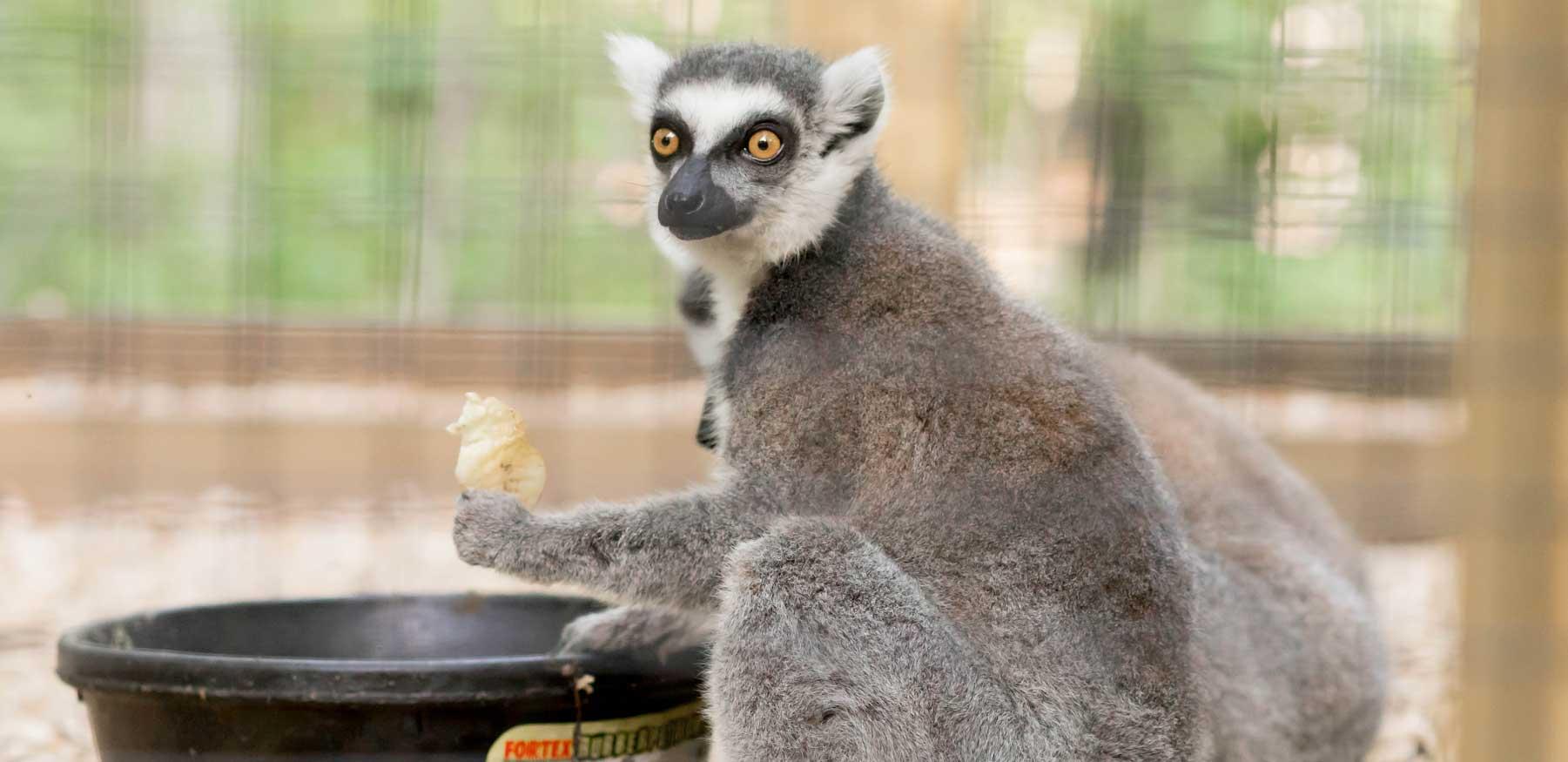 Ring-tailed lemur eating at YRWS