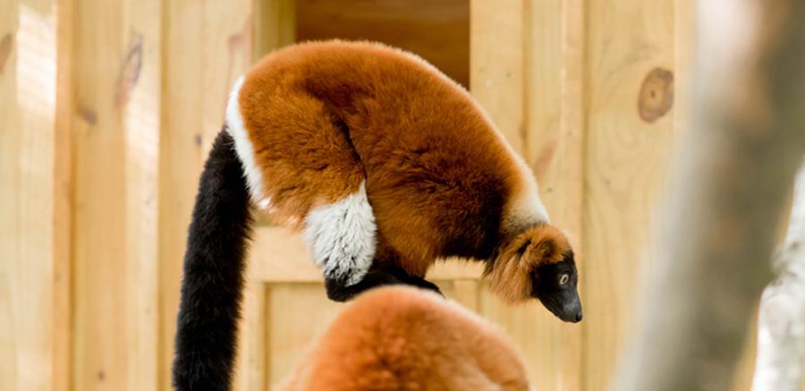 Yellow River Wildlife Sanctuary Red Ruffed Lemur on branch