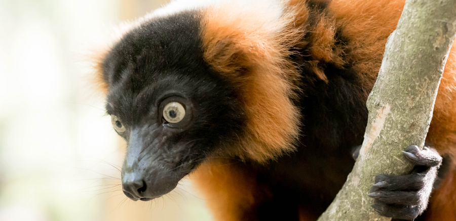 Yellow River Wildlife Sanctuary Red Ruffed Lemur close up