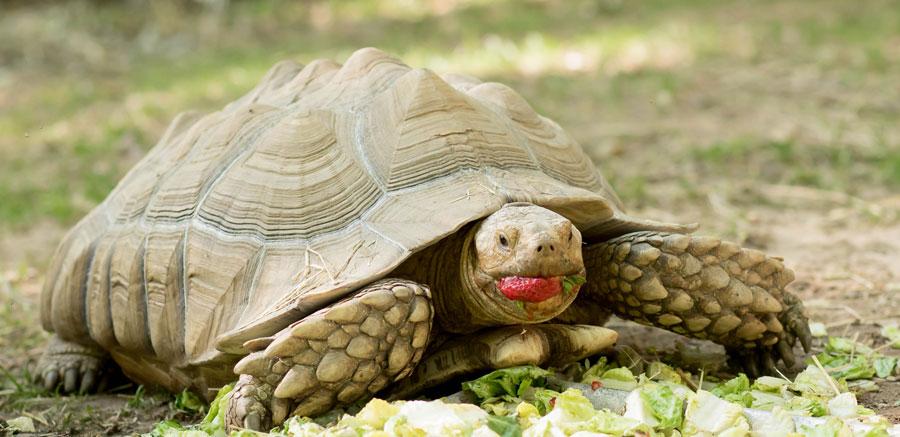 Sulcata tortoise eating strawberries - Yellow Rier Wildlife Sanctuary